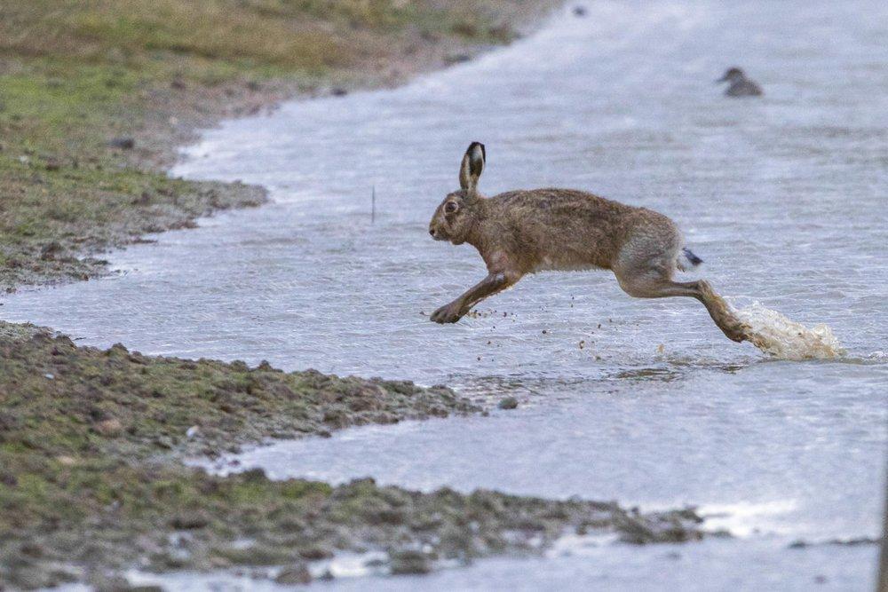 Hare at Kilnsea Wetlands