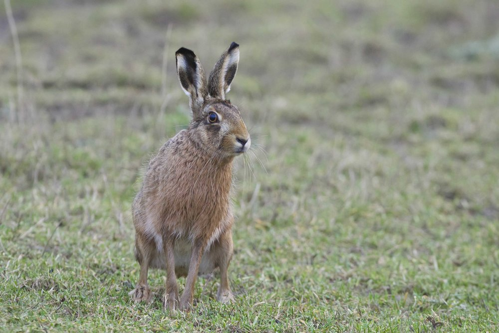 Hare at Kilnsea Wetlands