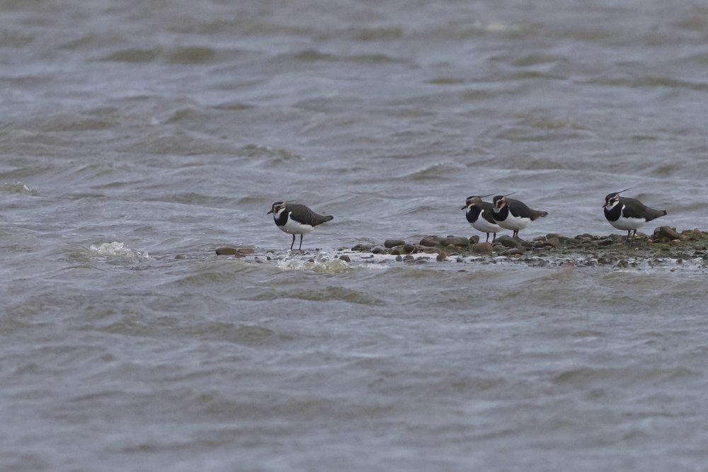Lapwing at KIlnsea Wetlands