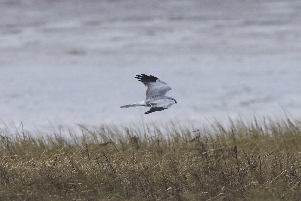 Hen Harrier at Stoney Creek