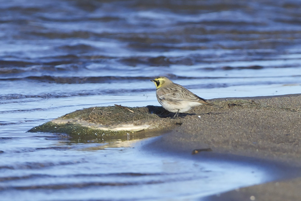 Shore Lark at Easington Lagoons
