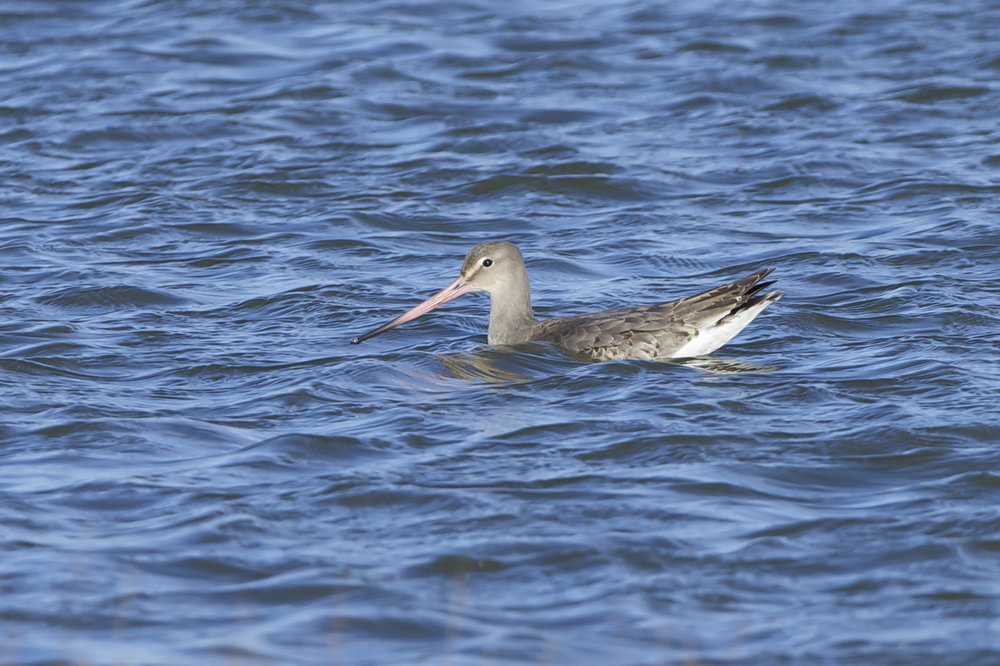 Black-Tailed Godwit at Kilnsea Wetlands