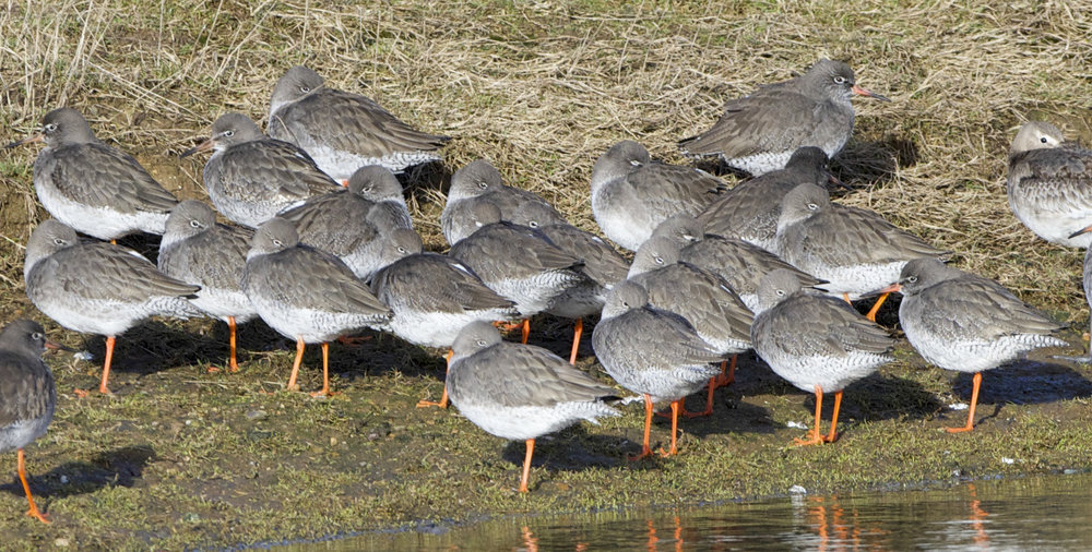 Redshank at Kilnsea Wetlands