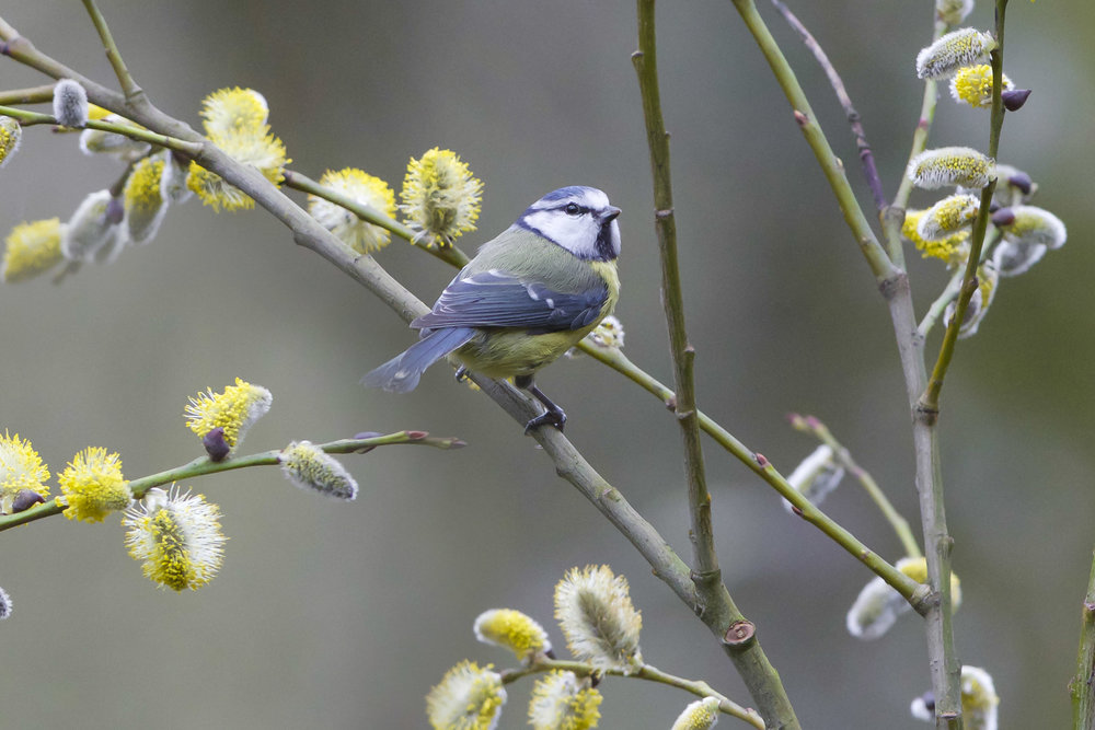 Blue Tit-Forge Valley