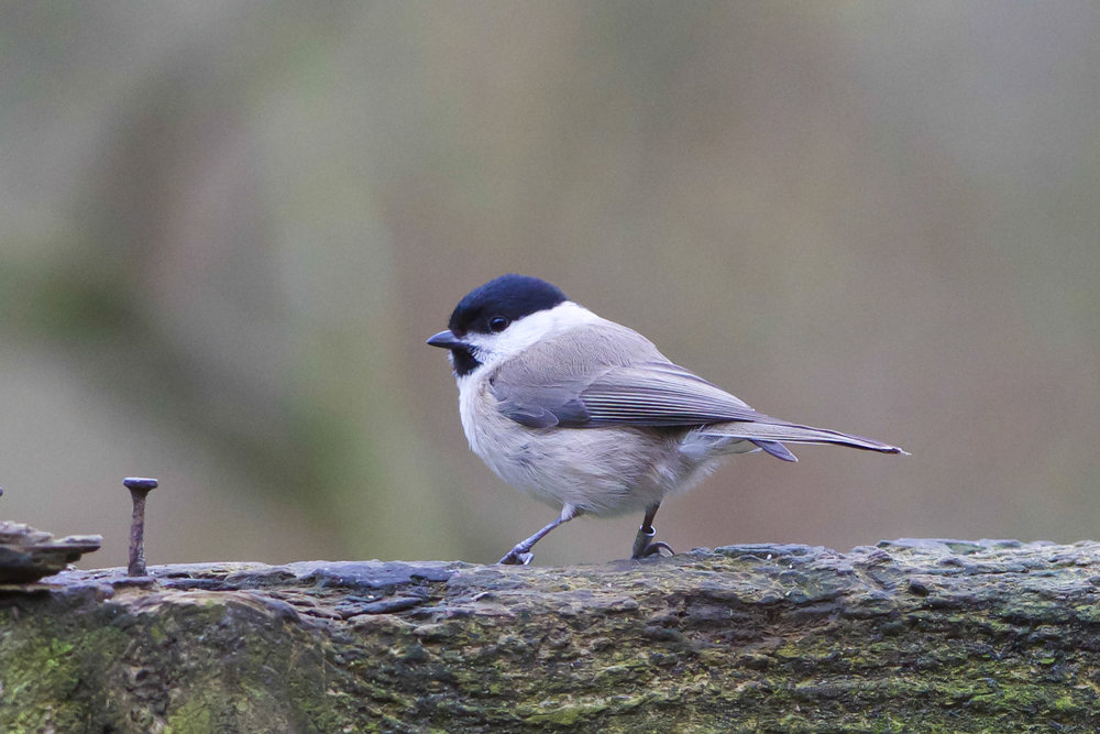 Marsh Tit-Forge Valley