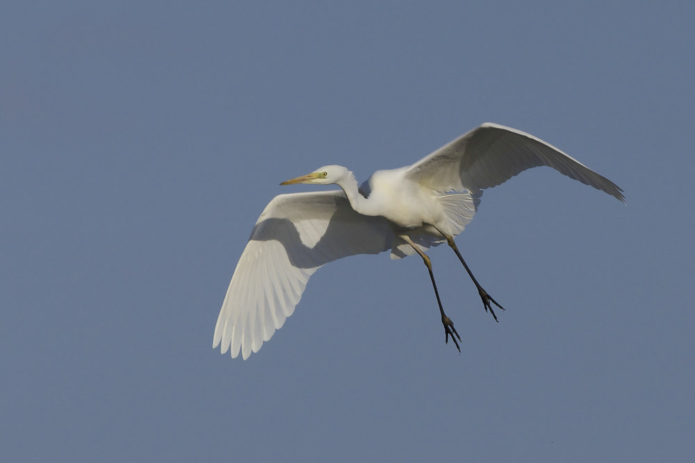 Great White Egret at Filey Dams