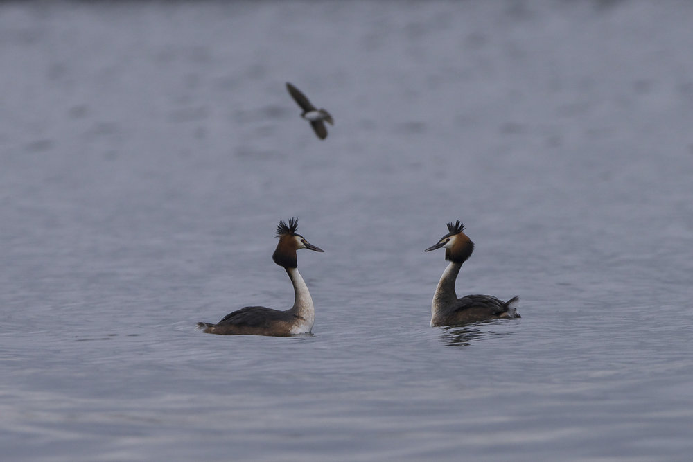 Great Crested Grebe at Tophill Low