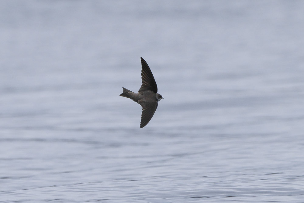 Sand martin at Tophill Low
