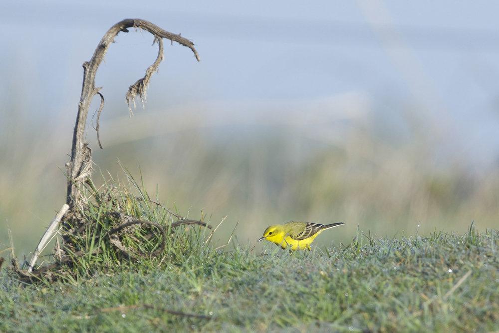 Yellow Wagtail (male)