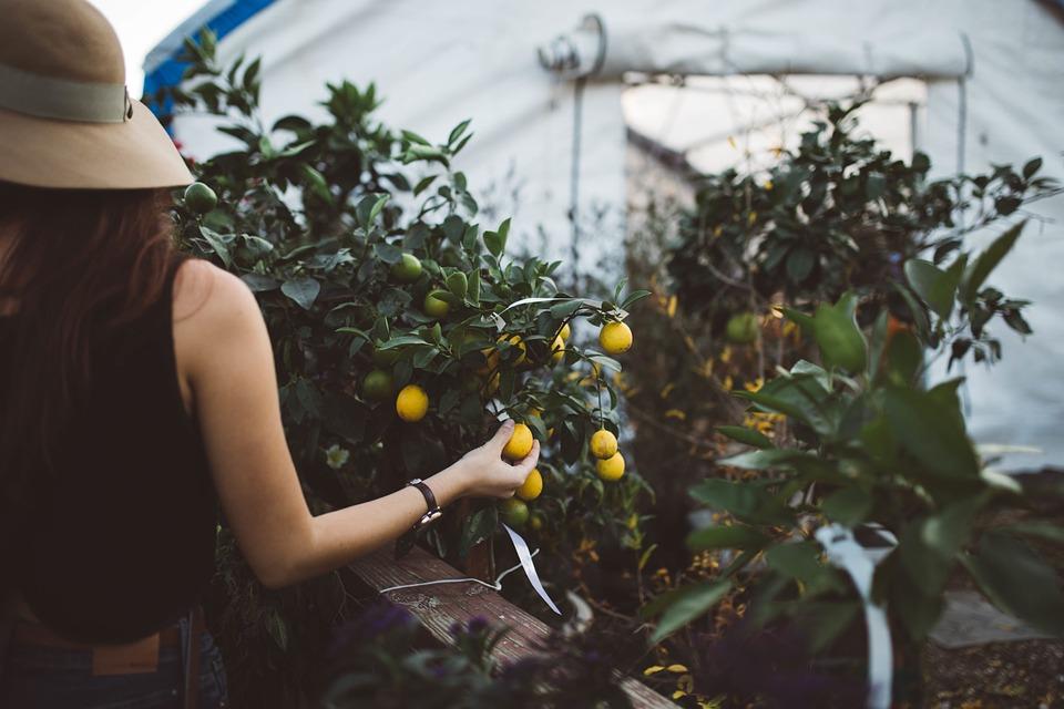 picking_fruit