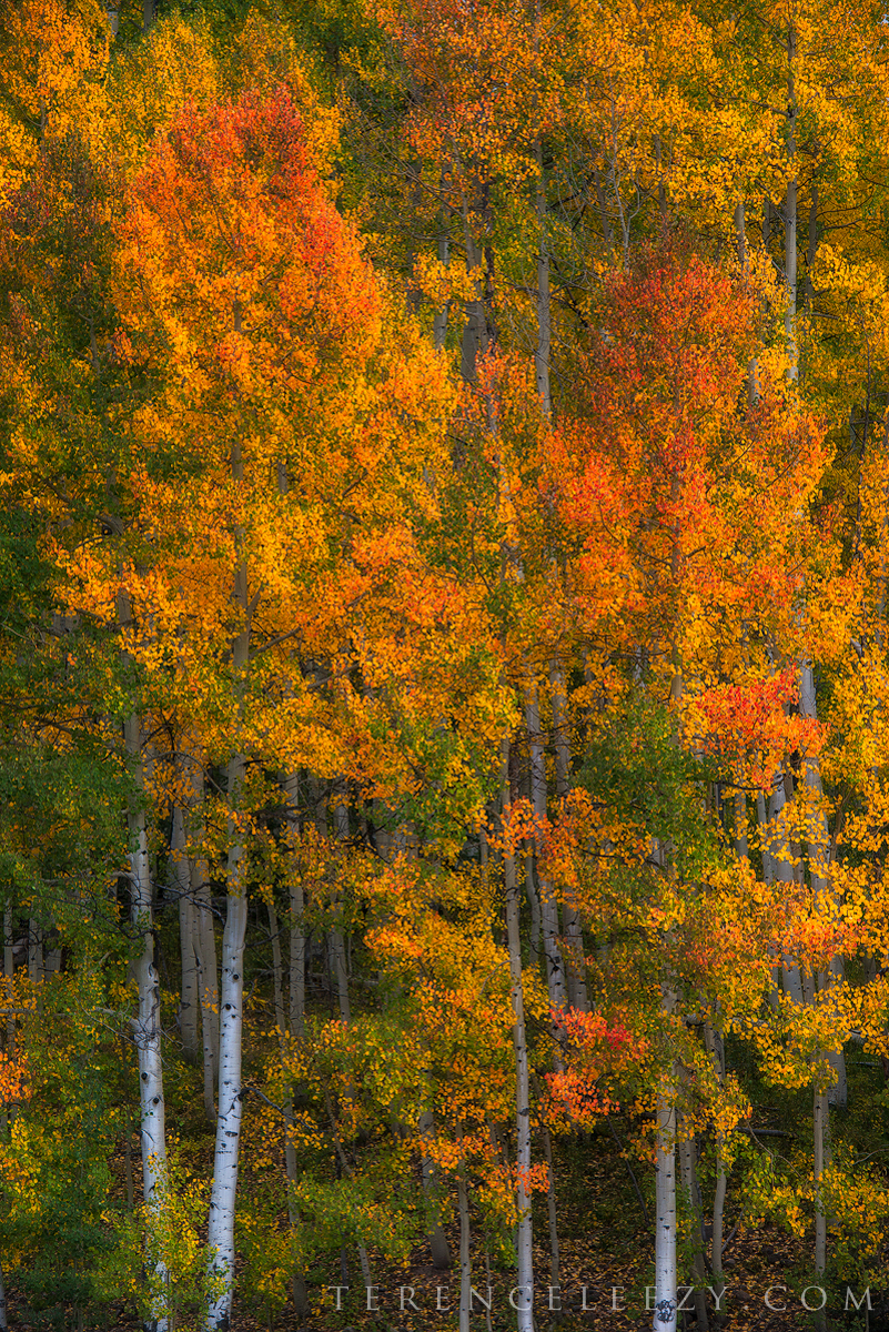 Variety is the spice of life - at least for these aspens