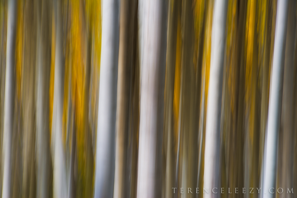 Aspen in motion – this abstract shot turned out well, as I had wanted the white-barked aspen trunks to stand out amidst the gold foliage.