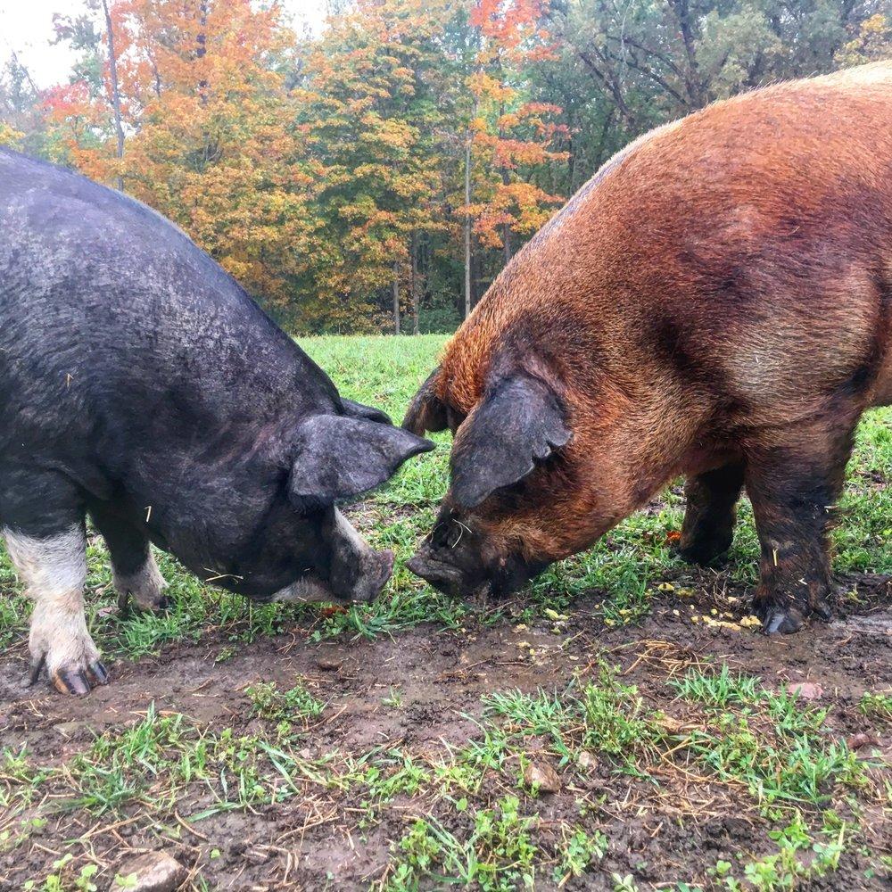 Linton Pasture Pork     Pasture Raised, Heritage Breed Pigs    Walton, Ontario