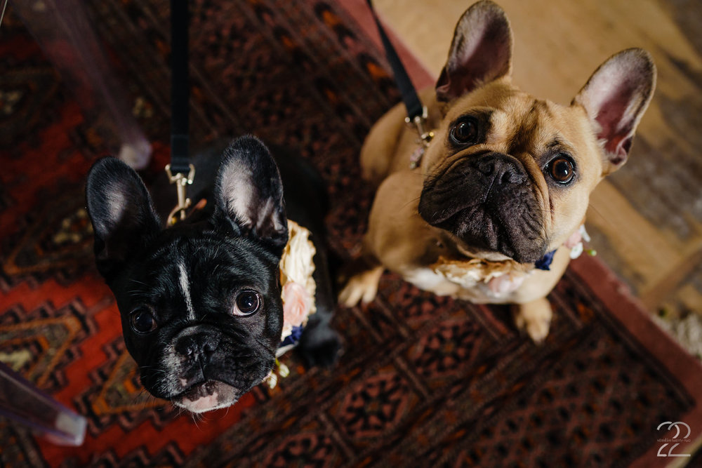 French Bulldogs at Weddings