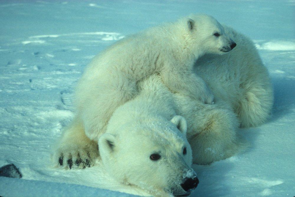 polar-bear-710165_1920.jpg