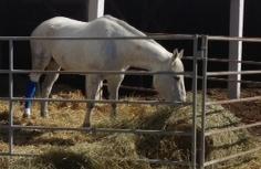 septic tarsal sheath wound equine vet veterinarian doctor Calgary Cochrane Alberta