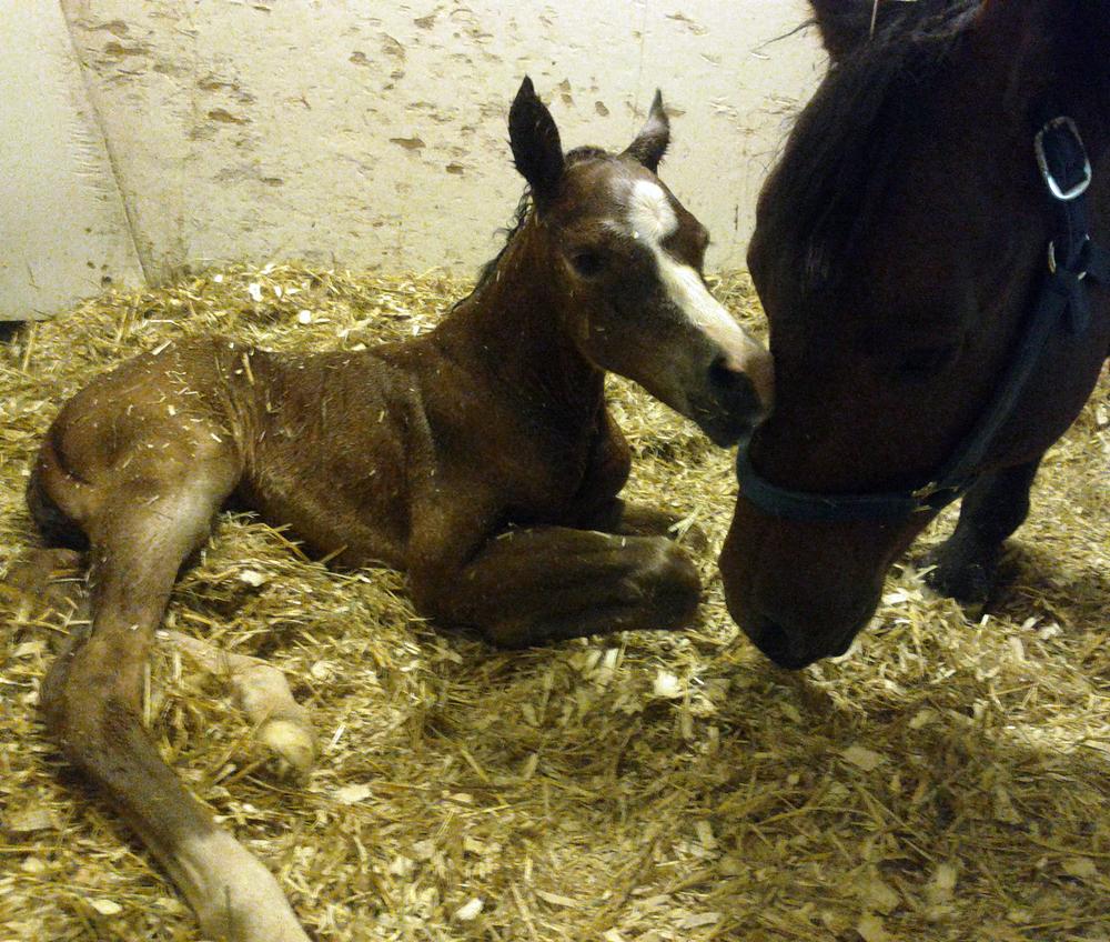 mare foal pregnant management equine vet veterinarian doctor Calgary Cochrane Alberta