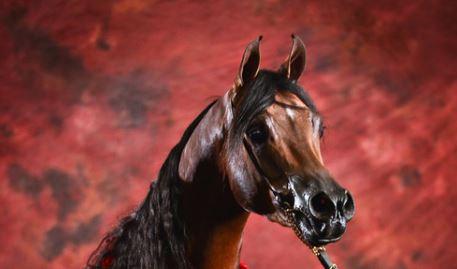 stallions standing breeding horse equine vet veterinary doctor Calgary Cochrane Alberta