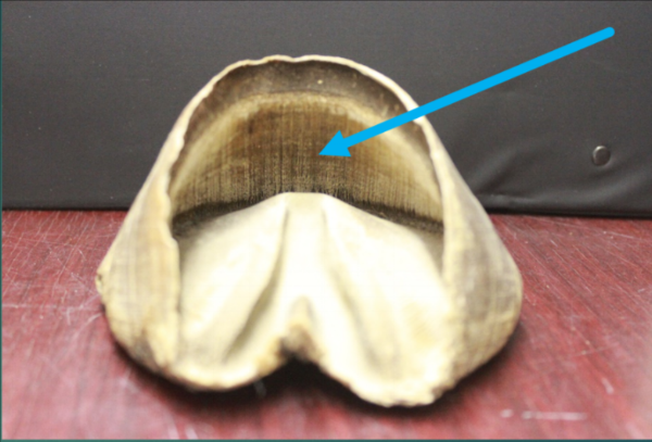 The specimen in this picture highlights the lamellae that are found under the dorsal hoof wall and that would serve to form the attachment of the coffin bone inside the foot to the outside hoof wall.