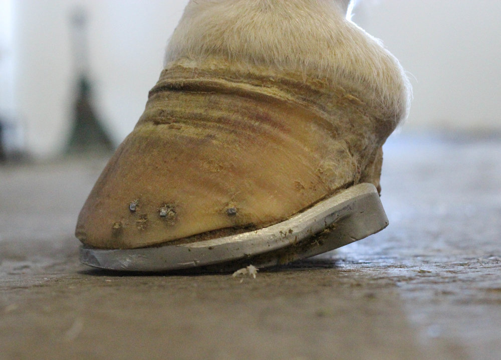 This horse was suffering from a severe episode of laminitis and was fitted with rocker rail shoes after spending 2 months in modified ultimates.  She is currently sound.