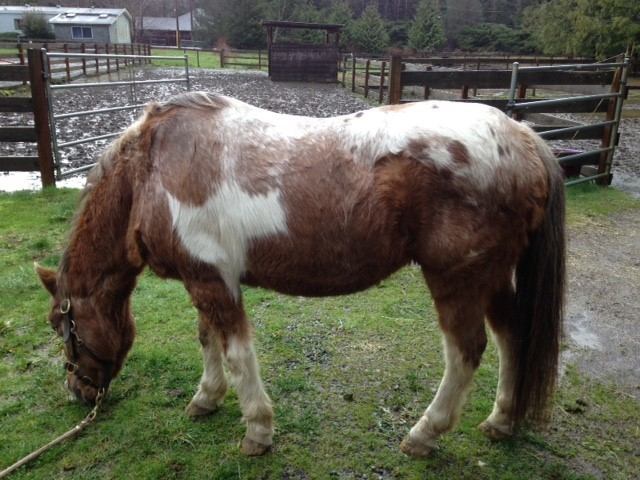 Note the long curly hair coat, pot-bellied appearance, and loss of muscle mass along the back and over the hind quarters.