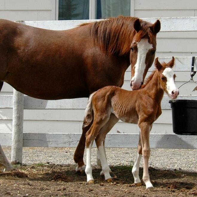horse equine vet veterinarian doctor Cochrane Calgary Alberta foal mare breeder