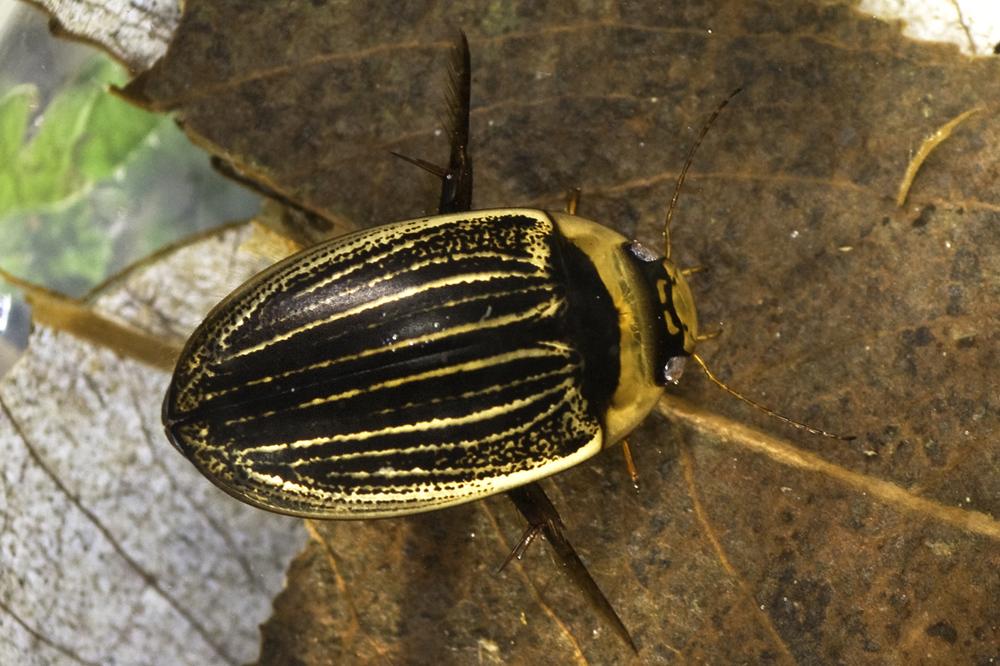 Comparative Distributions of Aquatic Beetles