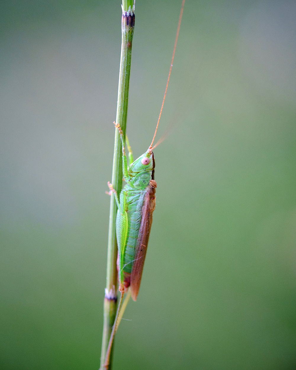 Conoocephalus fuscus