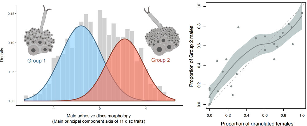 Correlation between male and female sexual traits in Graphoderus zonatus. Left:  Two separated morphological clusters of males based on variation in male protarsal discs (the inserts depict examples from each group).  Right: Positive relationship between the proportion of females with granulated elytra and males with Group 2 disc-traits in the 29 sampled populations.