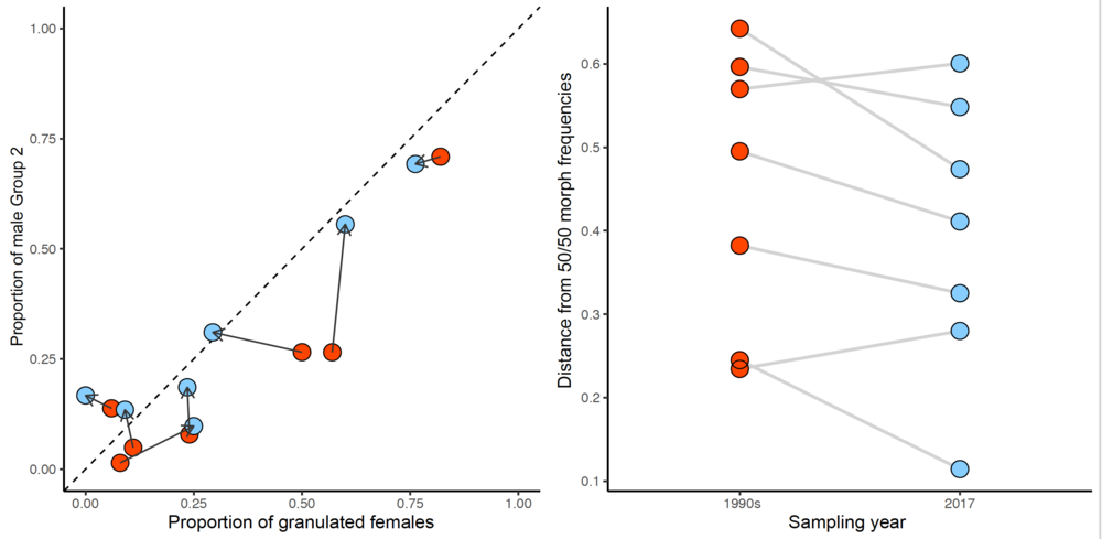 Evolutionary dynamics of male and female morph frequencies in Graphoderus zonatuspolymorphism .  Left: Change in the proportion of male and female morphs from 1990s (red) to 2017 (blue) in seven populations. The dotted line depicts a saturated morph correlation.  Right:  Distance from observed proportions of male and female morphs to the 0.5/0.5 equilibrium point in the 1990s (red) and 2017 (blue). The average distance to the predicted equilibrium point decreased during the study period, consistent with equal fitness of all morphs, frequency-dependent sexual conflict selection and assortative mating maintaining both male and female morphs locally.