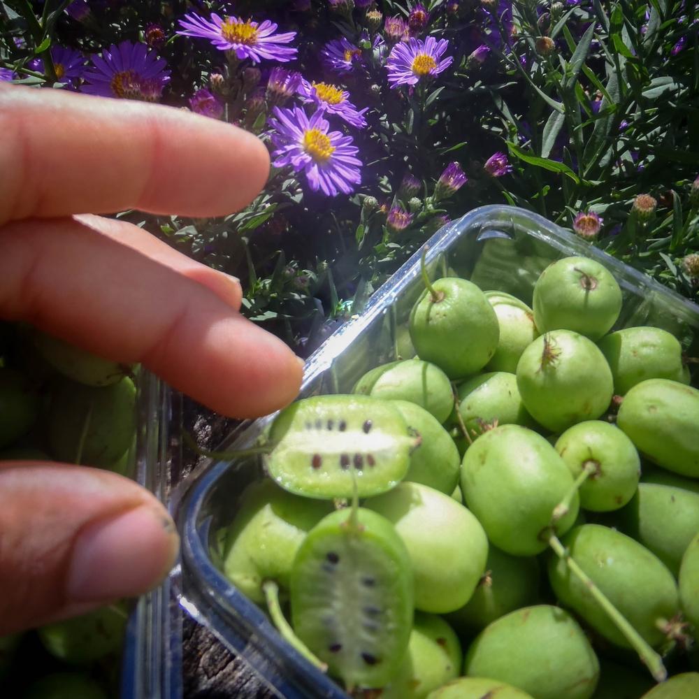 hardy kiwi pints.jpg