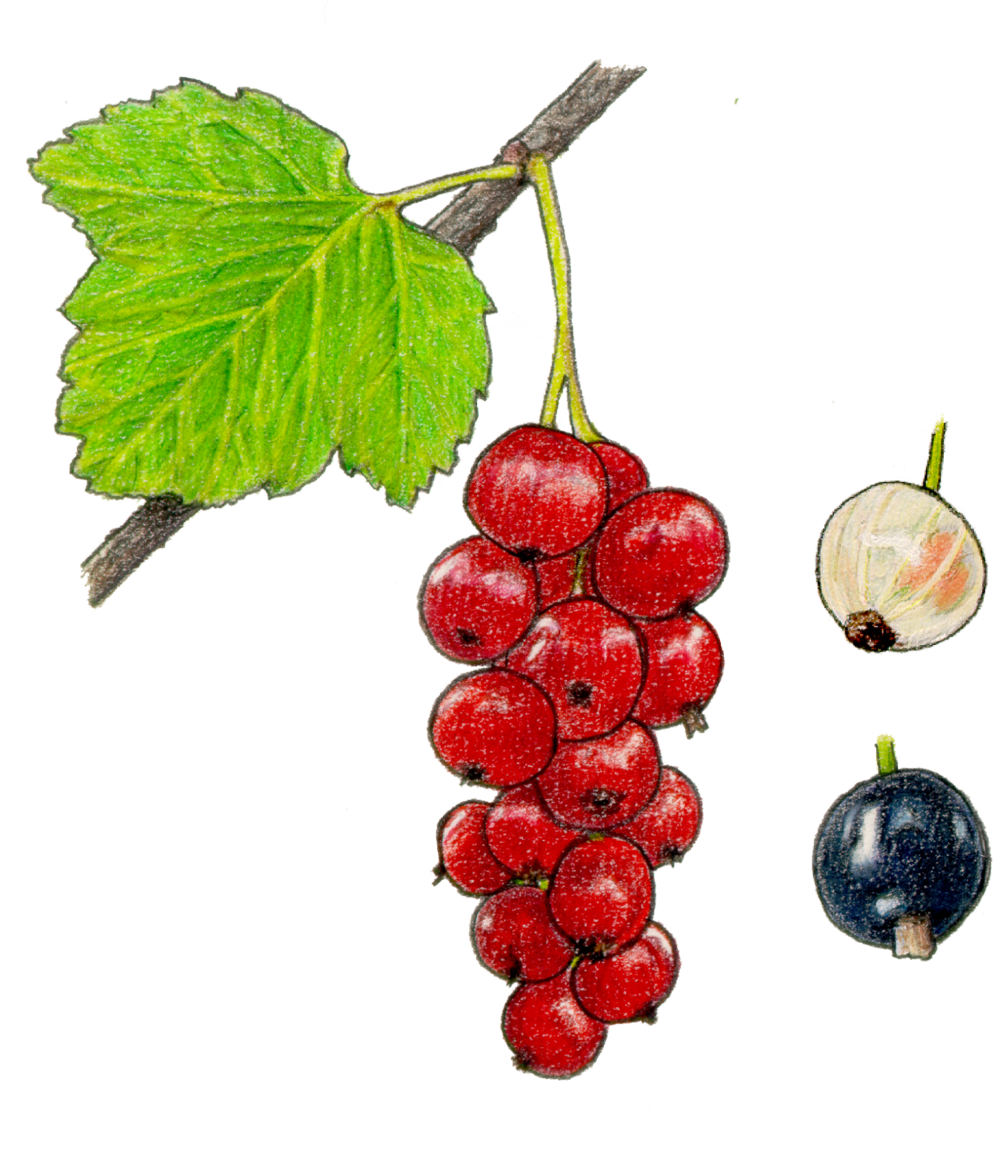 currant fruit