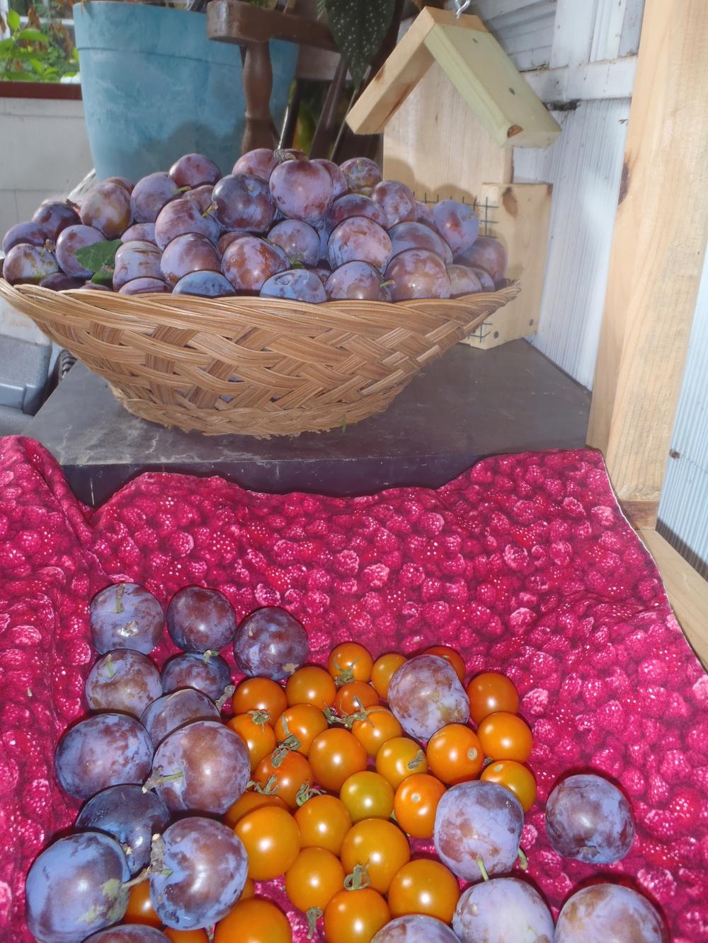 plum harvest 2013