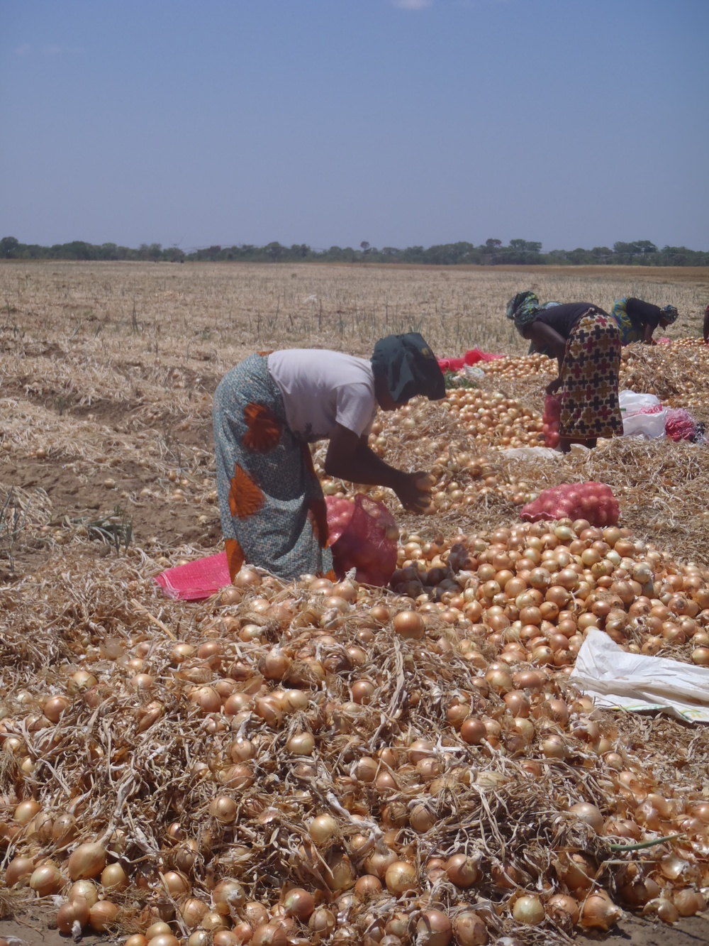 Women farm laborers harvesting onion, during a visit of a commercial farm in Zambia. Over 70% of global vegetable production in Africa is done by hand by women. Photo by Erin Schneider