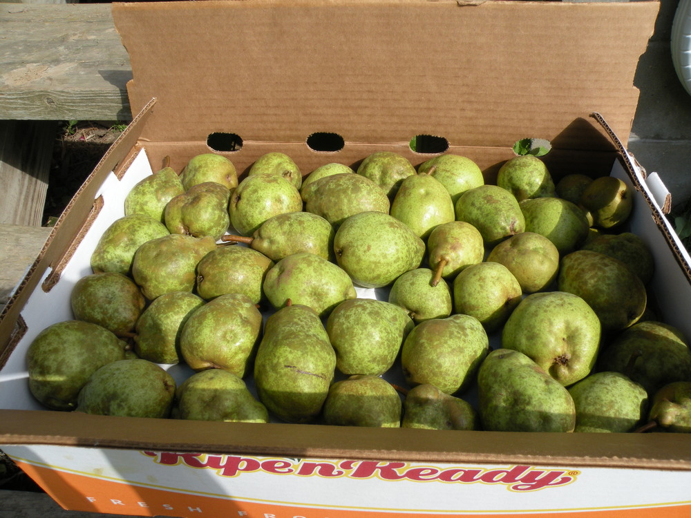 The lackluster 2014 pear harvest...We hope 2015 will be kinder to our pears, peppers, and hardy kiwi.