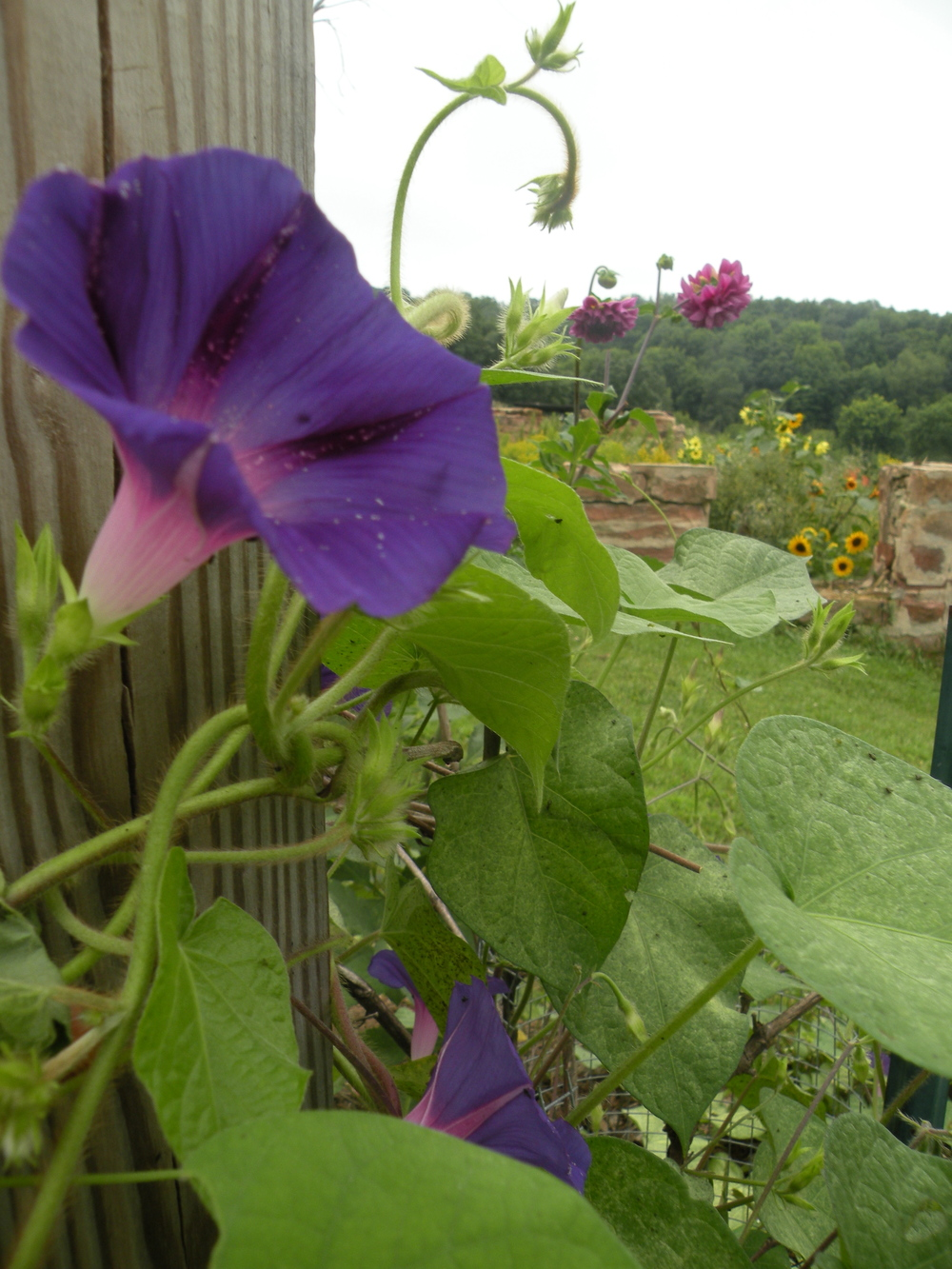 """A Morning glory at my window satisfies me more than the metaphysics of books."" Walt Whitman, Song of Myself, 1855"