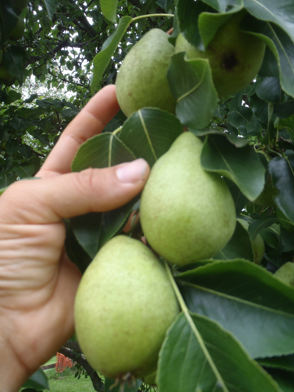 Pears sizing up on the tree - august 2015