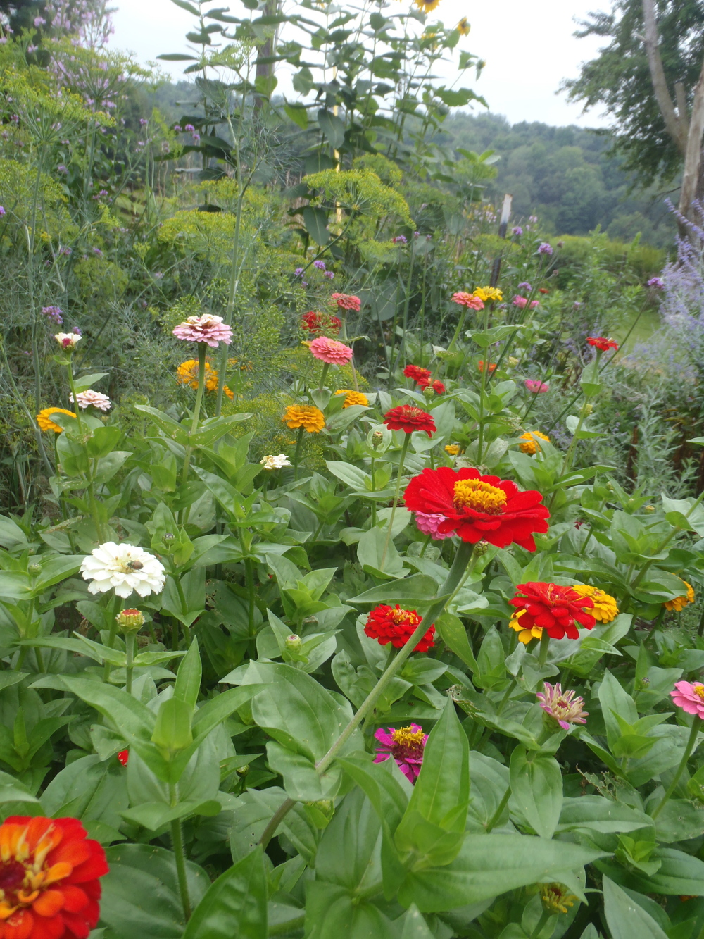 red zinnia rainbow.jpg