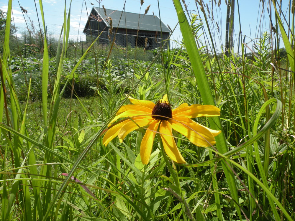 Black eyed susan barn drop