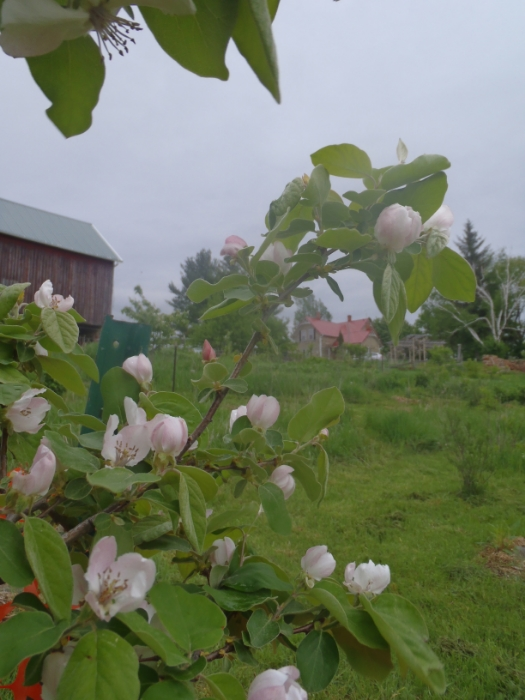 Quince blossoms softening the May skyline in our orchard. Photo by Rob McClure