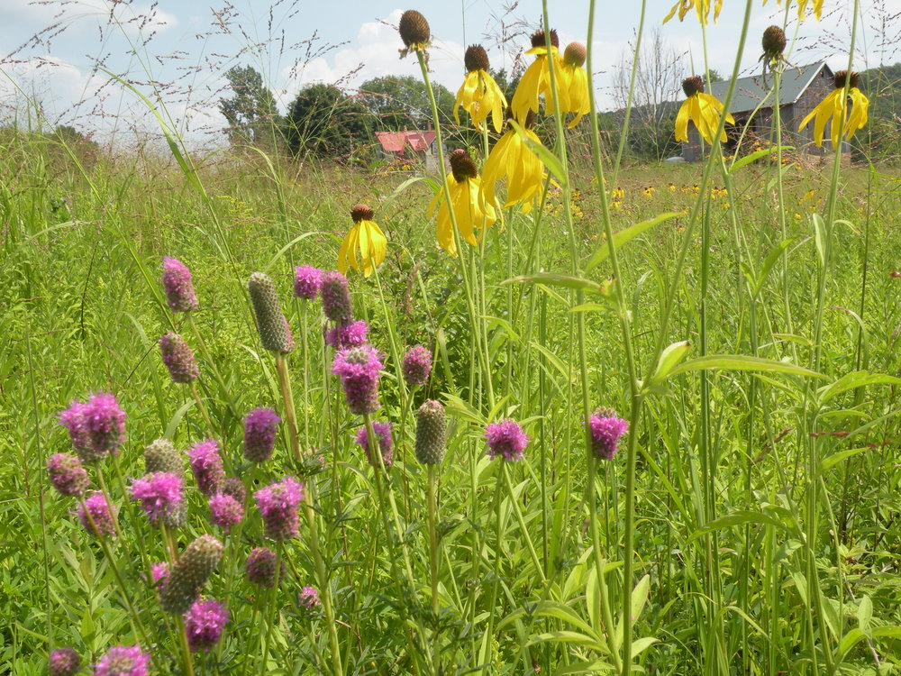 Native flowers such as purple prairie clover and yellow coneflower are excellent pollinator attractants and hold up well in a bouquet. Many of our flowers serve a variety of functions, engage the senses and inspire a natural, romantic, aesthetic, grounded in soil love and beauty.