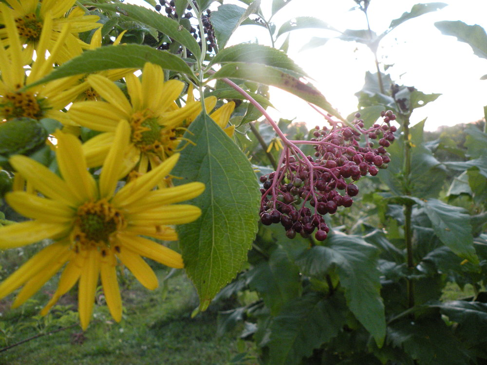 elderberry silphium sunsets.jpg