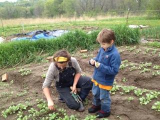 calvin, weeding lettuce.jpg