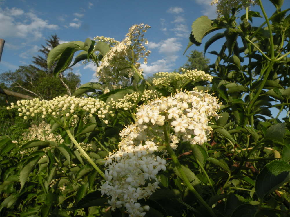 Elderflower viewpoints, solstice is a perfect time to pause and let the elderflower blossoms rain on you. Photo by Erin Schneider