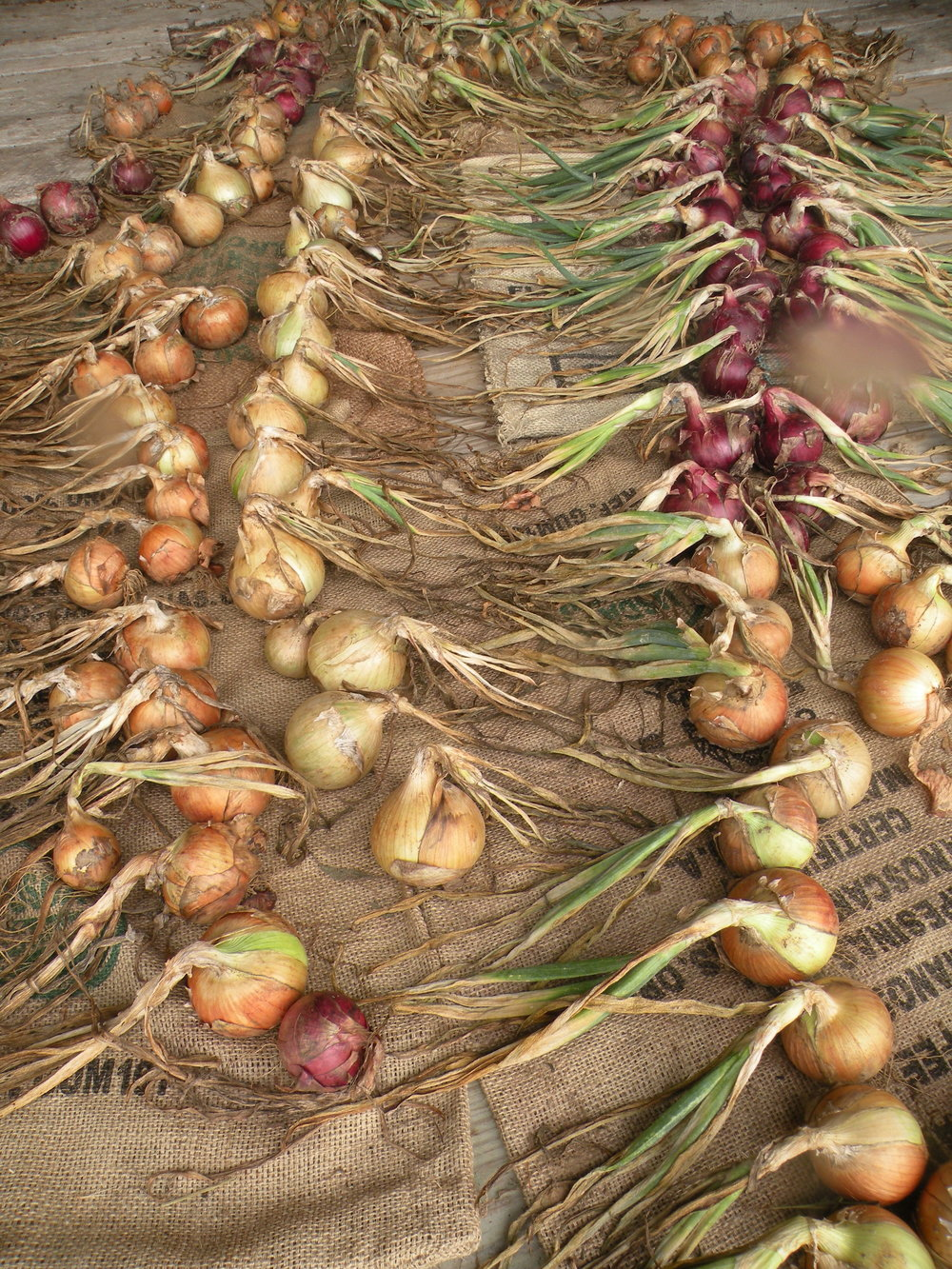 Onions drying in our barn. Photo by Erin Schneider