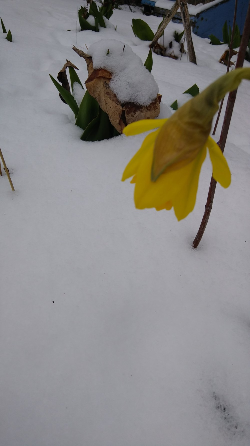 daffodil and snow 2018