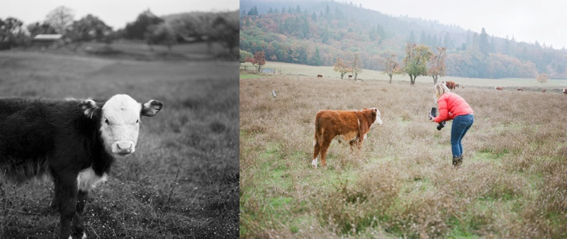 A cow lingers in a lush fall pasture while Sonja tries to get a portrait. Film family portraits by Sonja and Max Salzburg of Sonja K Photography.