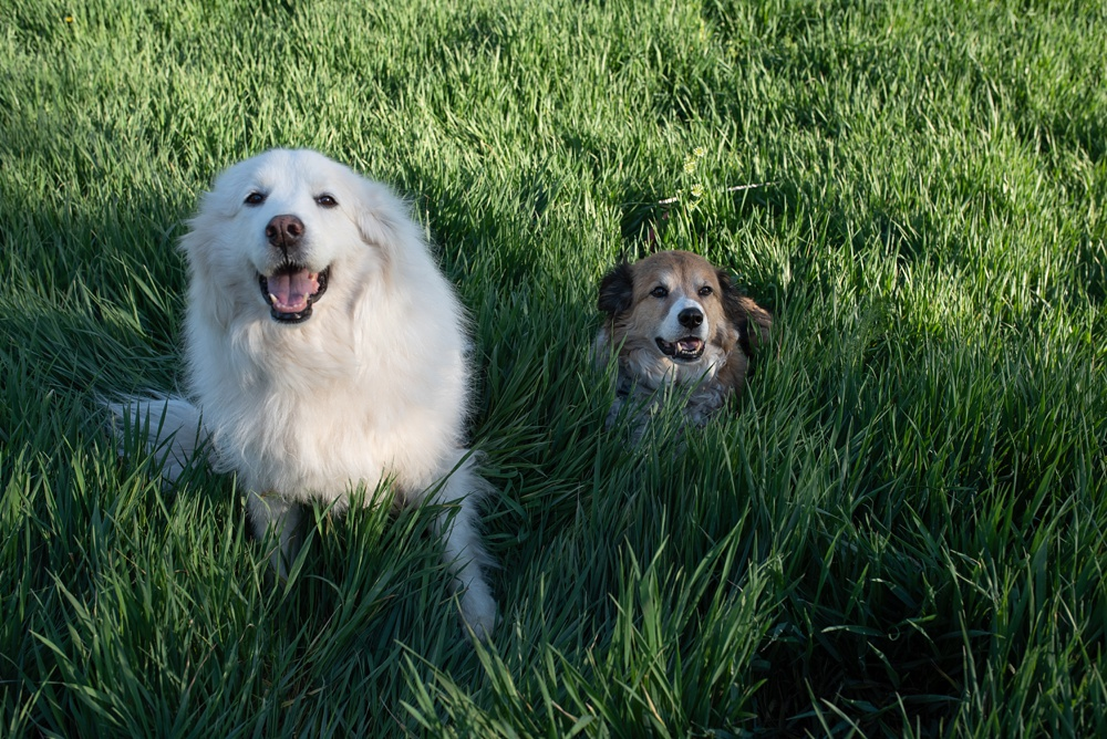 Dogs in long grass at Poudre River Stables in Fort Collins, Colorado. Pet and family portrait photography by Sonja Salzburg of Sonja K Photography.