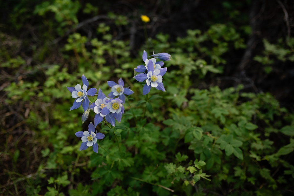 Columbines along the hike at the Wellboday Women Summer TRIBE Program backpacking trip in the Indian Peaks Wilderness in Colorado. Event photography by Sonja Salzburg of Sonja K Photography.