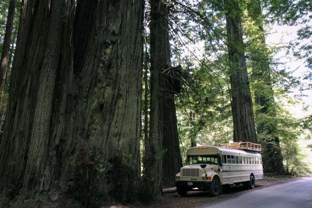 Georgia, dwarfed only by Redwoods.